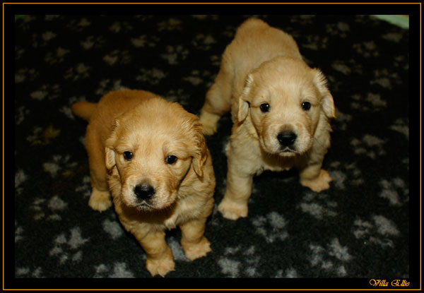 Puppies golden retriever villa ellie