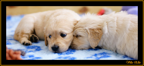 puppies golden retriever