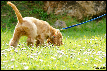 perro golden retriever de villa ellie