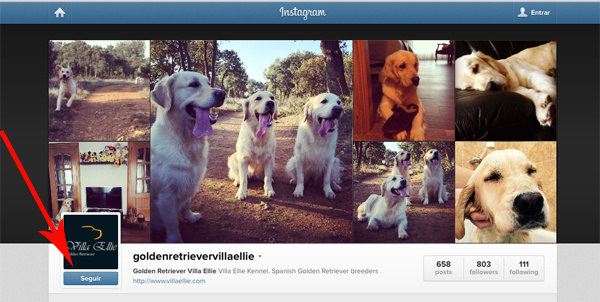 golden retriever villa ellie instagram